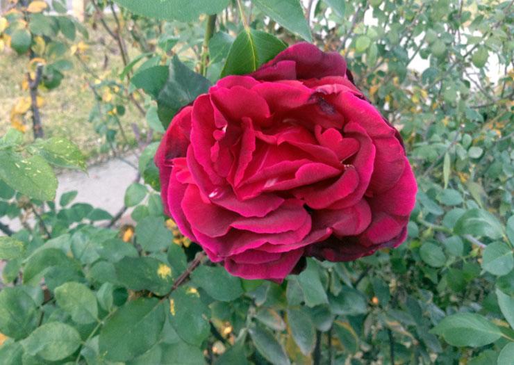 last-rose-of-summer