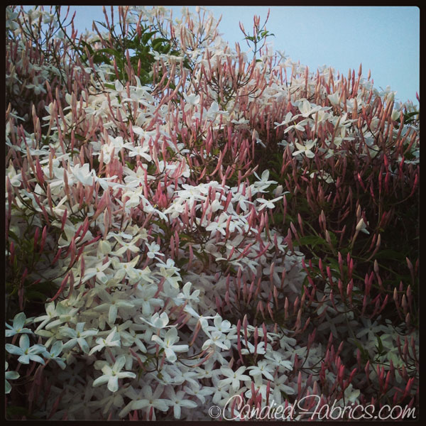 jasmine-bloom-2