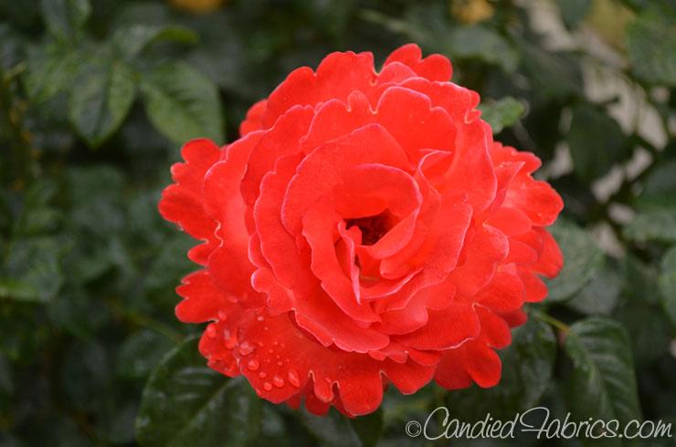 May-roses-01