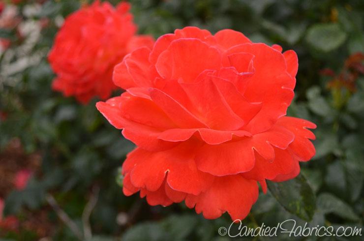 May-roses-02