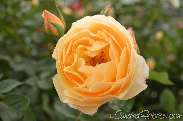 May-roses-06