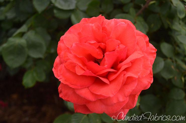 May-roses-08