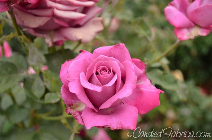 May-roses-10