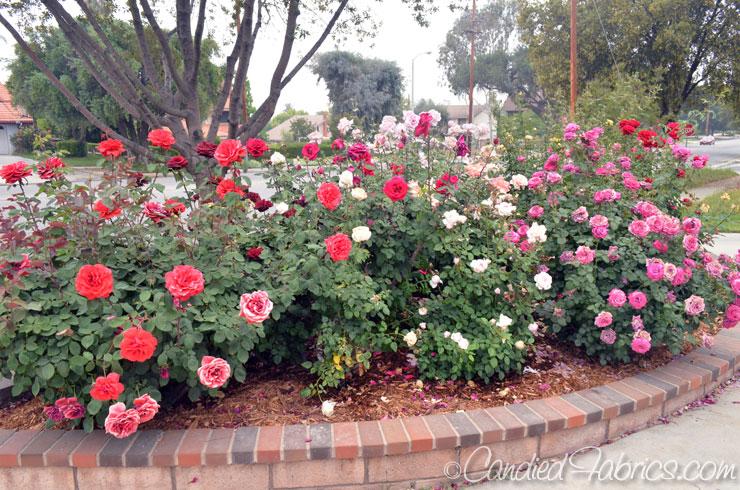 May-roses-11