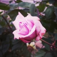 Joy | Last Rose of Winter