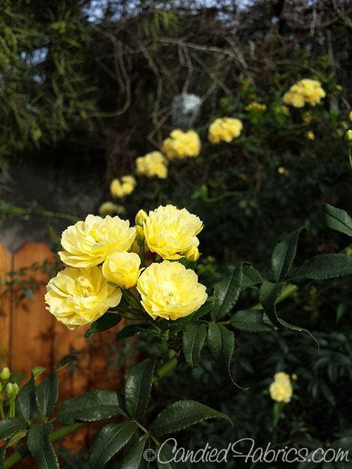 first-rose-of-spring-2015