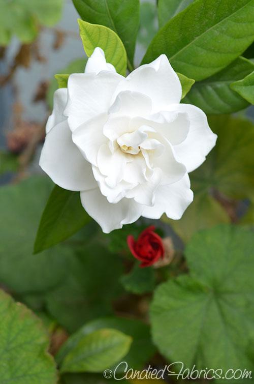 May Gardeniasa
