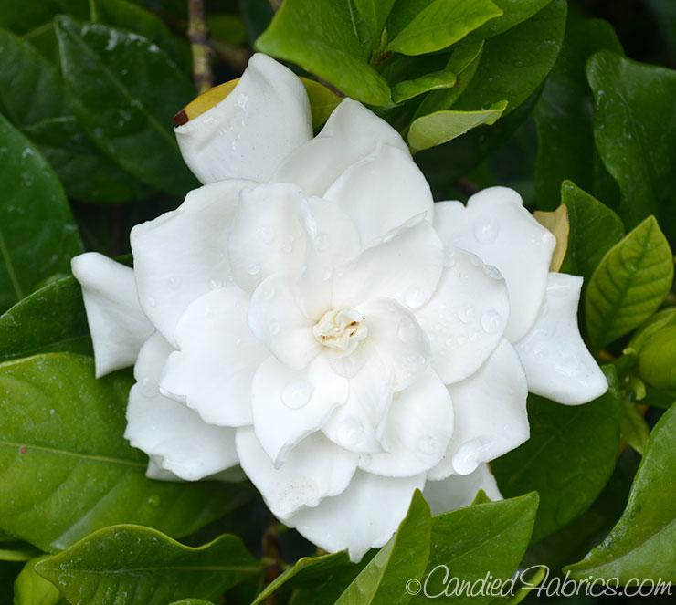 May Gardeniasb