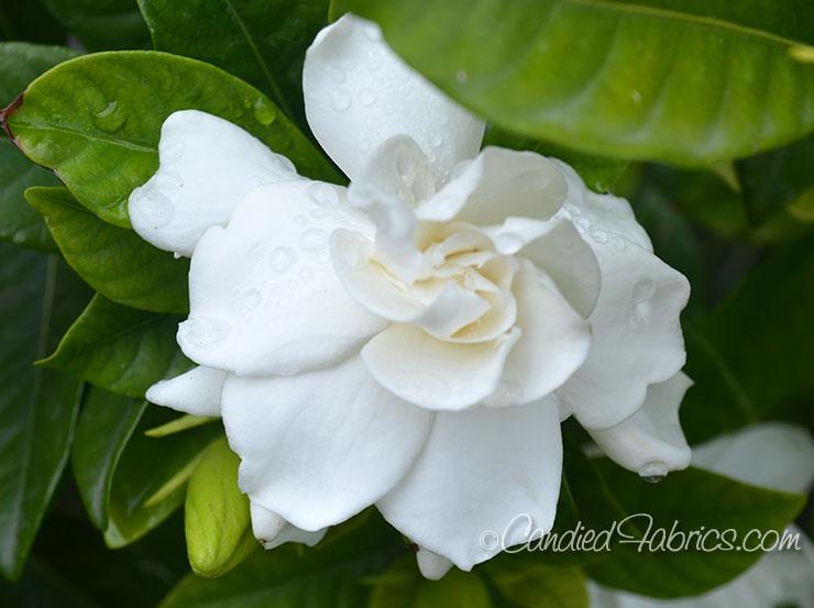 May Gardeniasc