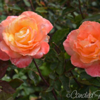 A Riot of Roses