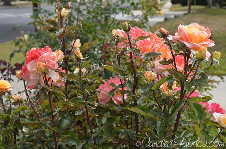 May Roses c