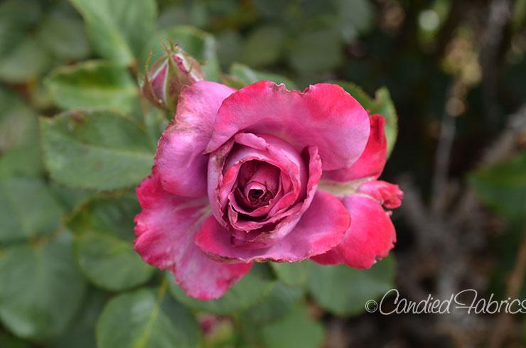 May Roses d