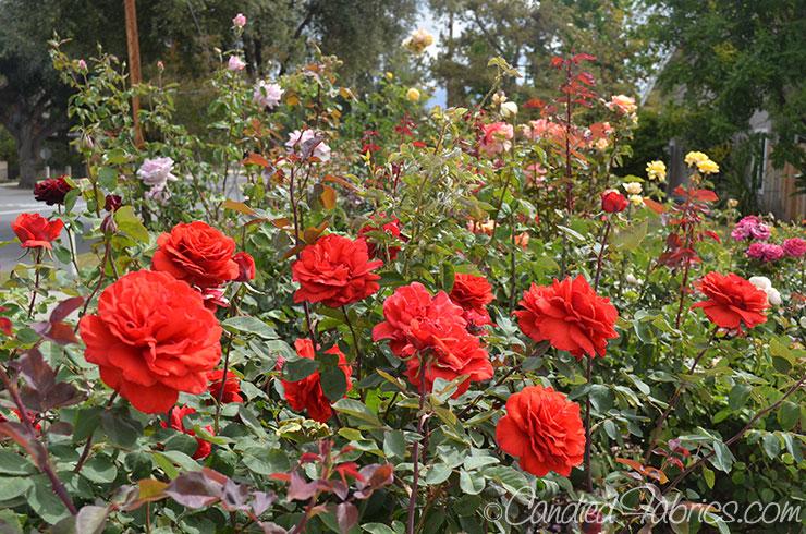 May Roses e